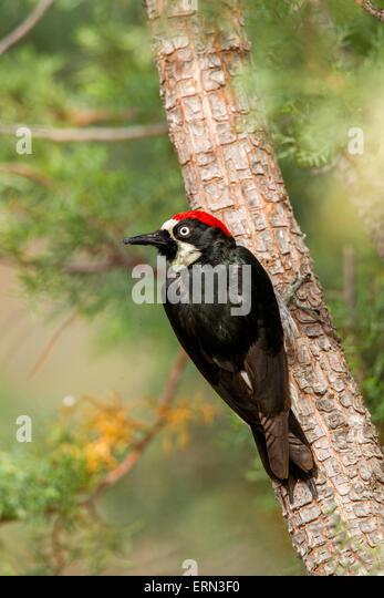 Acorn Woodpecker Melanerpes formicivorus Santa Rita Mountains, Santa Cruz County, Arizona, United States 14  May - Stock Image