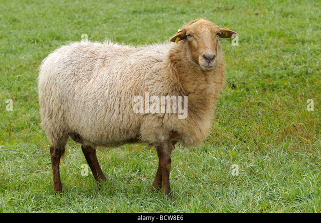 Domestic Sheep, Coburg Fox Sheep (Ovis orientalis aries, Ovis ammon aries). Single individual on a meadow - Stock Image