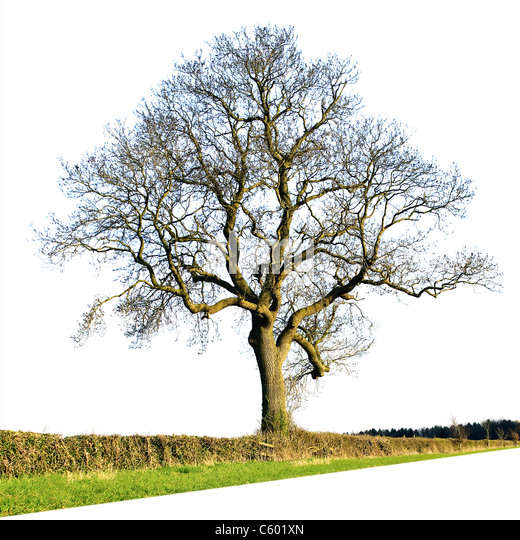 Large bare oak tree isolated against a plain white background - Stock Image