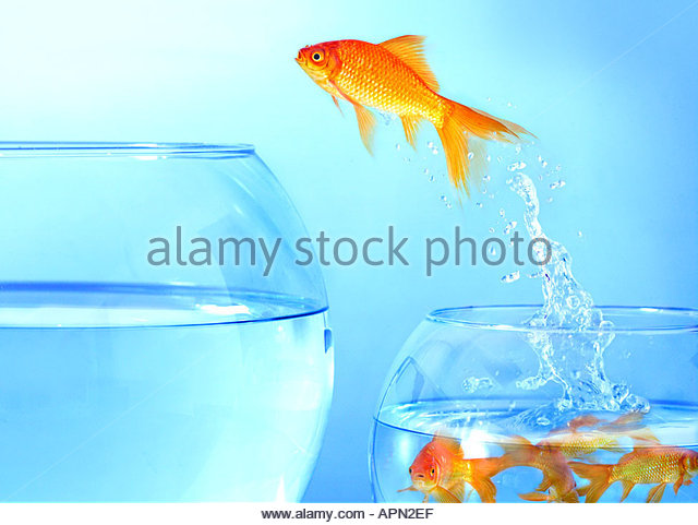 Goldfish jumping from small bowl to large bowl - Stock-Bilder