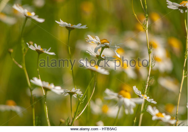 Daisies in field. Romantic and dreamy midsummer in Sweden, magic time of the year. - Stock Image