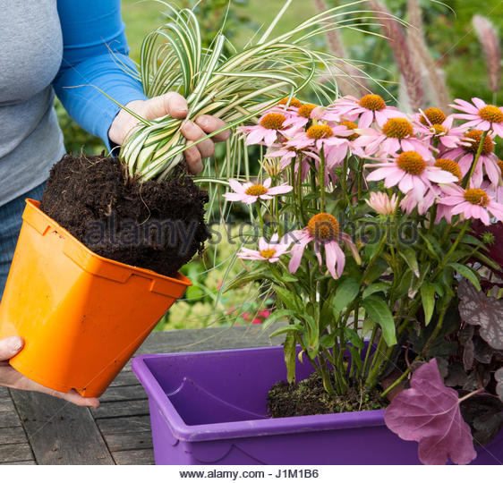 PLANTING A CONTAINER WITH PERENNIALS - Stock Image