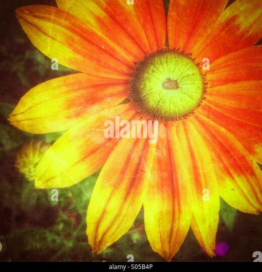 Colourful daisy - Stock Image
