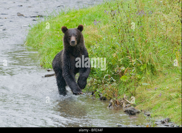 Grizzly Bear (Ursus arctos horribilis) Juvenile Running. Normally a solitary animal but in costal areas grizzly - Stock Image