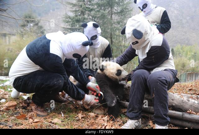 Chengdu. 3rd Feb, 2016. Staff members dressed up in panda costumes make physical examination on giant panda baby - Stock Image