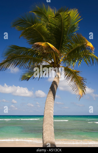 Palm tree on the beach at Uvero Alto near Playa Del Macao and Punta Cana in Dominican Republic - Stock Image