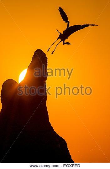 Heron takes off at sunset. Botswana. - Stock Image
