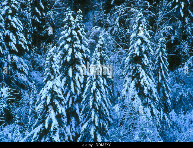 Silver firs (Abies alba) - Stock Image