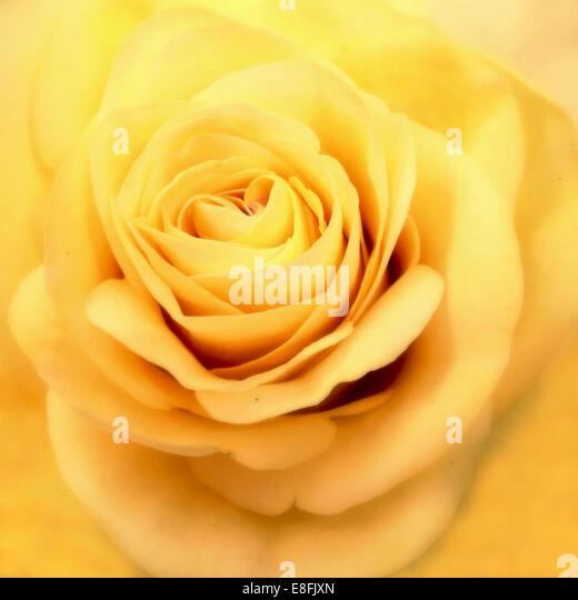 Malaysia, Close up of yellow rose - Stock Image
