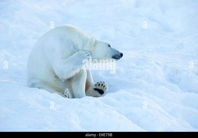 Polar bear (Ursus maritimus) scratching and cleaning itself in the snow - Stock Image