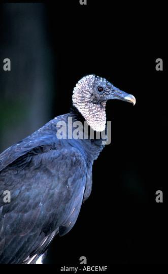 Birds black vulture Coragyps atratus - Stock Image