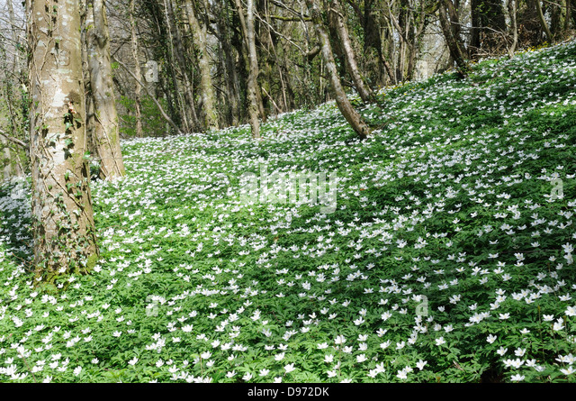 Wood Anemone Anemone nemorosa growing on an old oak woodland Carmarthenshire Wales Cymru UK GB - Stock Image