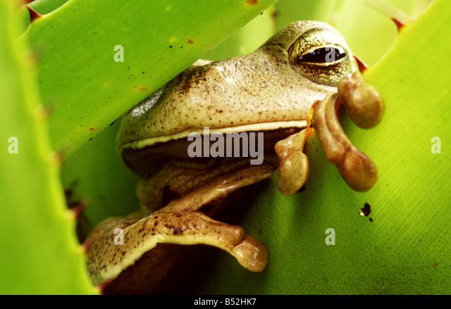 Frog resting in a bromeliad. Ponta Grossa, Paraná, Brazil - Stock Image