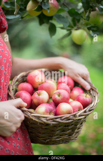 Woman Carrying Basket Of Apples In Orchard - Stock Image