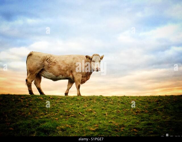 Bull standing on flood defence bank of the River Aire in North Yorkshire. - Stock Image