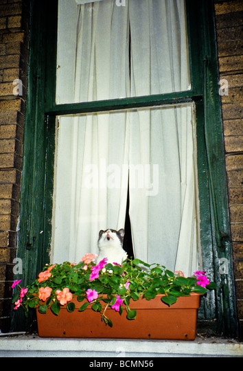 cat-looking-up-in-window-with-windowbox-
