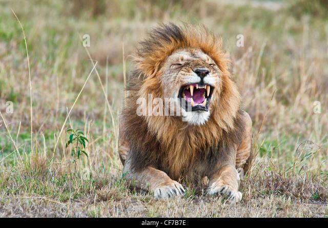 male-african-lion-panthera-leo-yawning-w