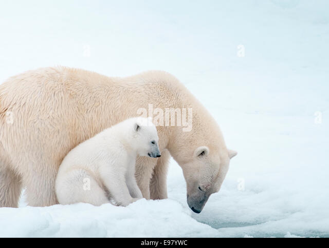 polar-bear-mother-with-cub-close-beside-