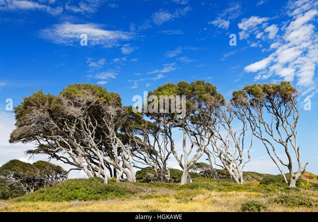 wind-swept-oak-trees-on-the-coast-at-for