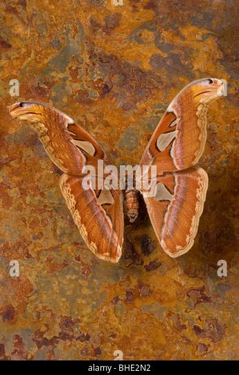 Malaysian atlas moth - Stock Image