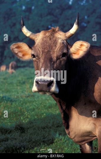 agriculture animal animals livestock brown livestock cow horns livestock economy milk cow portrait Switzer - Stock Image