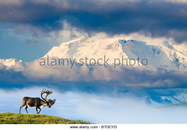 Bull caribou walks on tundra ridgeline below Mt. McKinley on a foggy morning, Denali National Park,  Alaska, , COMPOSITE/n - Stock Image