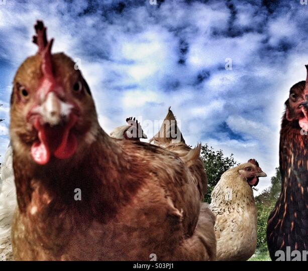 Close up flock of angry chickens - Stock Image