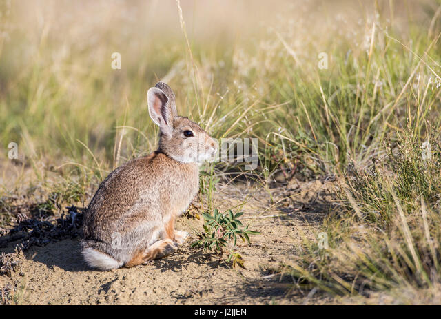 USA, Wyoming, Sublette County, Cottontail Rabbit - Stock Image
