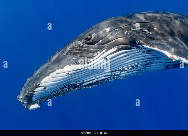 Humpback Whale, Megaptera novaeangliae, Hawaii, USA - Stock-Bilder