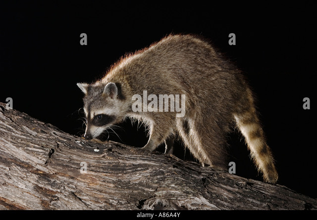 Northern Raccoon Procyon lotor adult at night on tree Willacy County Rio Grande Valley Texas USA June 2006 - Stock Image