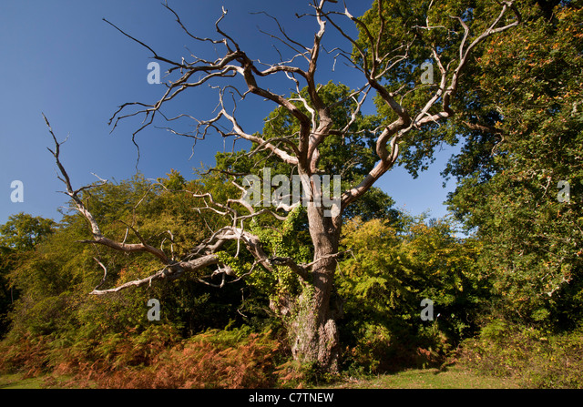 Stag-headed old oak, Quercus robur at Busketts Lawn, New Forest National Park, Hants. - Stock Image