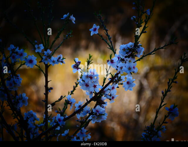 Spain Canary islands Tenerife Vilaflor cherry blossom - Stock-Bilder