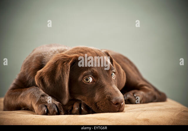 Puppy on ottoman with pity look - Stock Image