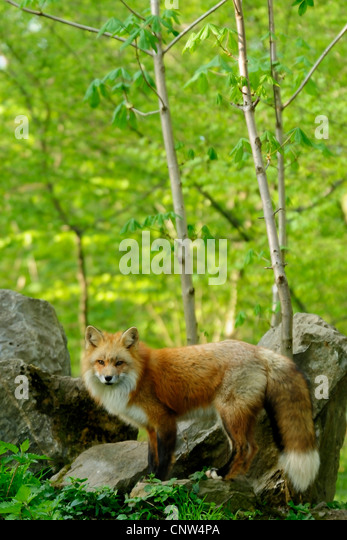 red fox (Vulpes vulpes), fox in front of its' den in spring, Germany - Stock Image