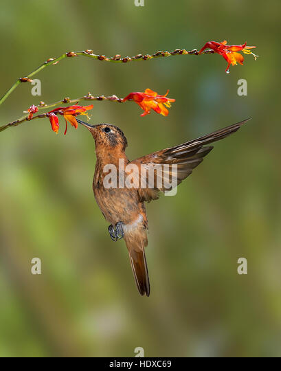 Shining Sunbeam Hummingbird (Aglaeactis cupripennis) feeding on flowers - Stock Image