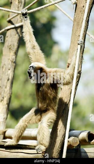 Hoolock gibbon - Stock Image