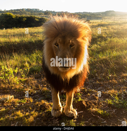 Close up of an old large male lion looking at the camera, backlit, South Africa - Stock Image