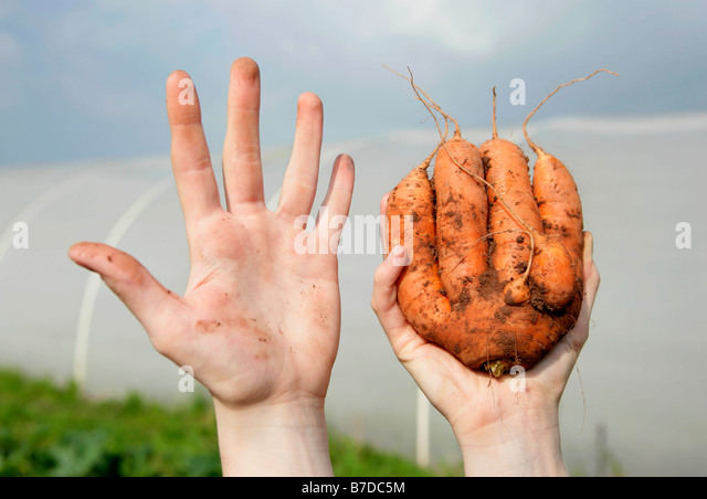 farm worker holding odd shaped carrot - Stock Image