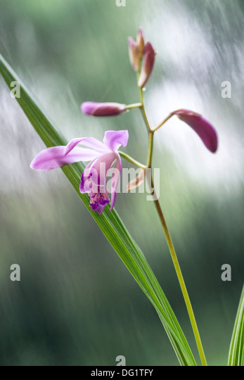 Orchid Plant from Uruguay - Stock Image