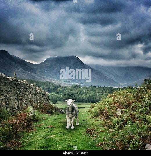 A Herdwick sheep in Cumbria, Lake District - Stock Image