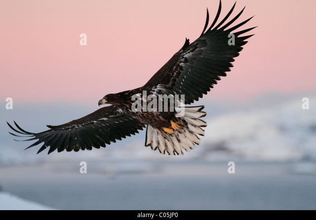 White-tailed eagle in winter coastal landscape in January, Norway - Stock-Bilder