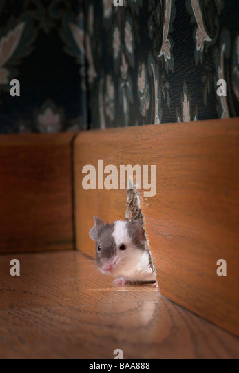mouse coming out of her hole in a luxury old fashioned room - Stock-Bilder