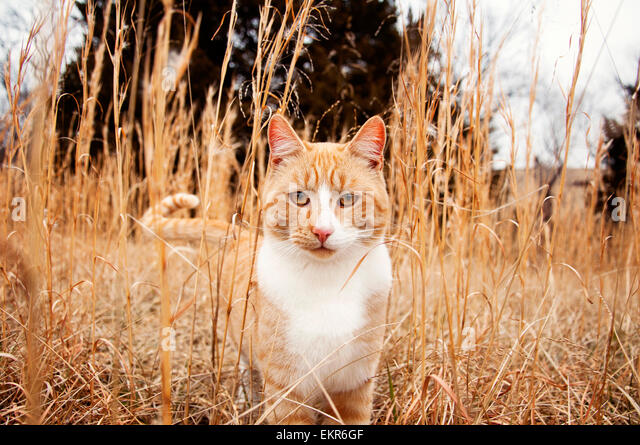 Large male cat in tall meadow - Stock Image