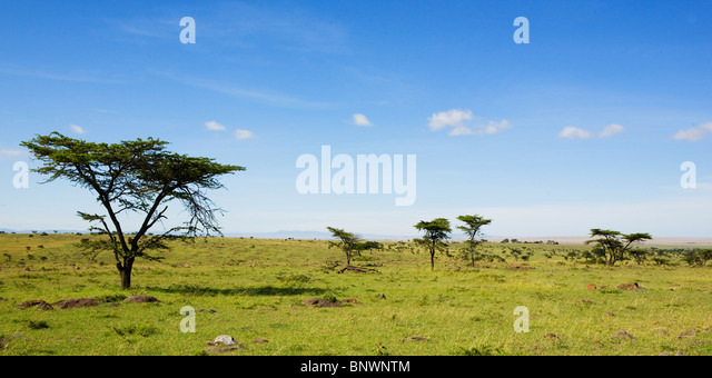 Trees on the Masai Mara plain Kenya - Stock Image