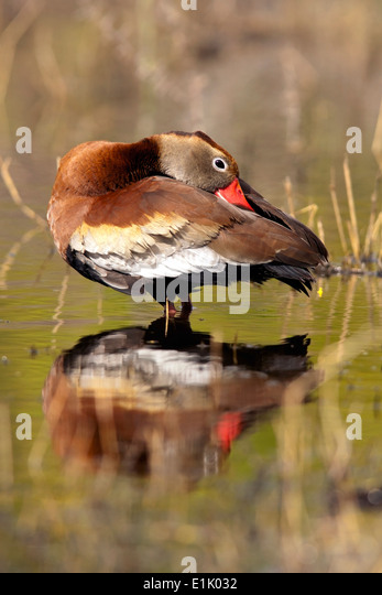 Black-Bellied Whistling-Duck - Camp Lula Sams - Brownsville, Texas USA - Stock Image