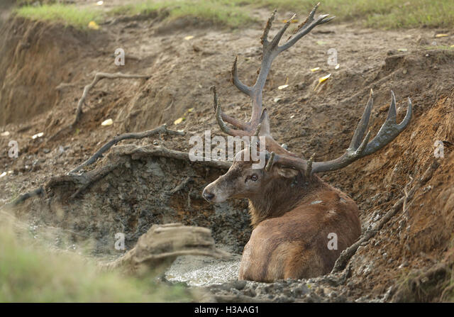 Wallowing Stock Photos Wallowing Stock Images Alamy