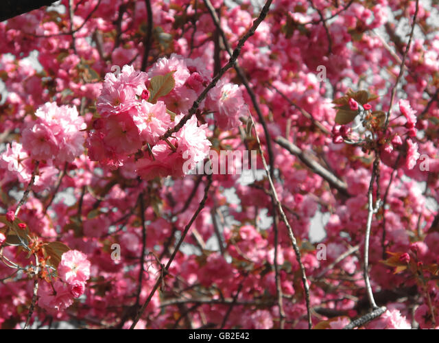 Closeup of pink cherry blossoms on a tree. - Stock Image
