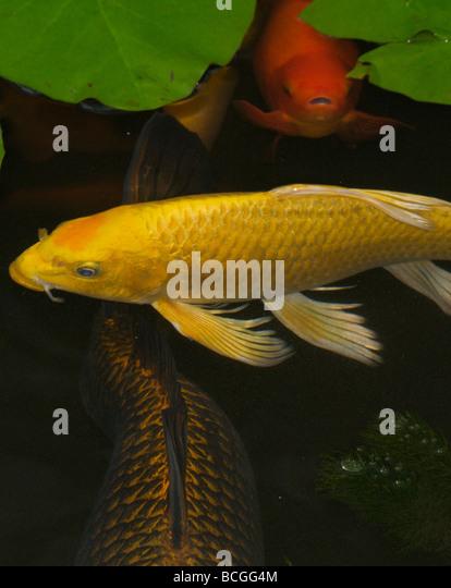 Yellow koi stock photos yellow koi stock images alamy for Ornamental pond fish golden