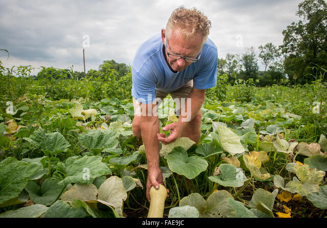 Farmer picking yellow squash straight from the vine - Stock Image