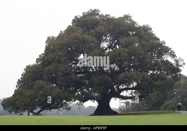 Oak Tree (Casuarina Glauca) at the Royal Botanic Gardens  [Farm Cove, Circular Quay, Sydney Harbour, Sydney, NSW, - Stock Image